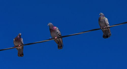 pigeons colúmbidas sky