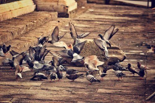pigeons birds a flock of birds