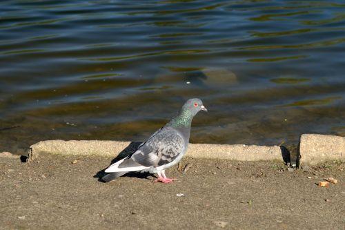 balandžiai,balandis,paukštis,skristi,gyvūnai,rašiklis,snapas,paukščiai,vanduo,tvenkinys,ežeras,gamta,laukiniai paukščiai