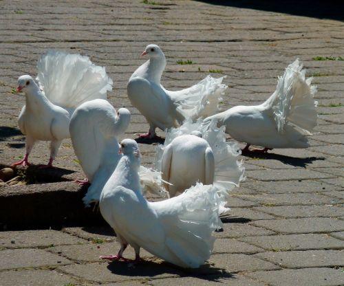pigeons white doves white