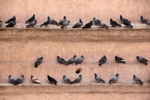 pigeons wall gathered