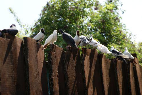 pigeons the dovecote birds
