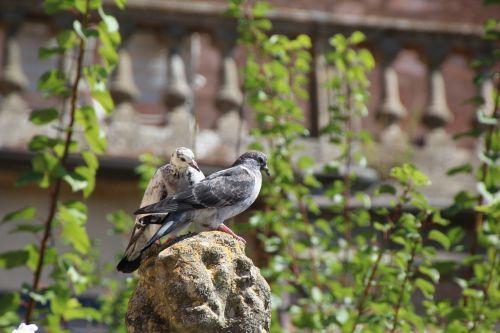 pigeons bird street deaf