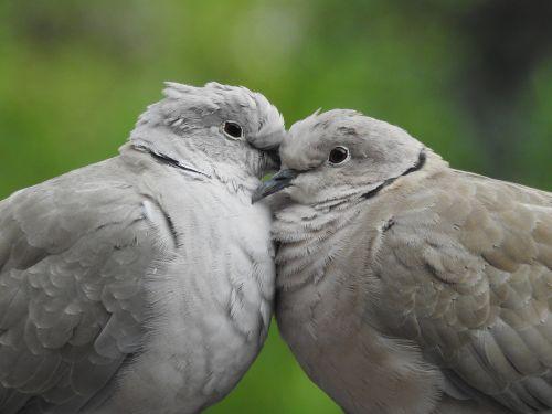 pigeons para sweethearts