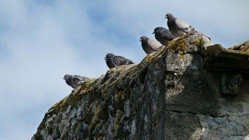 pigeons birds wall