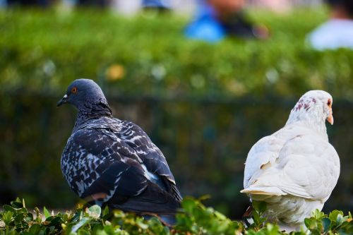 pigeons differences opposites