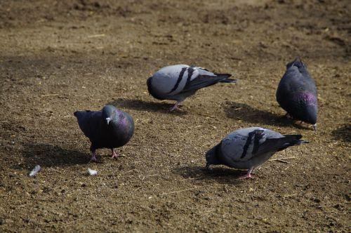 pigeons peck birds