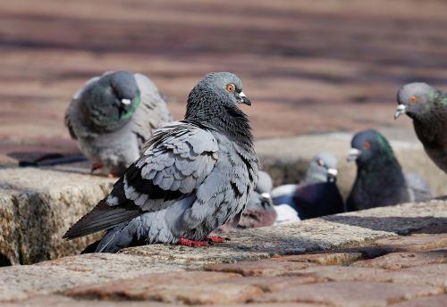 pigeons city pigeons paddling