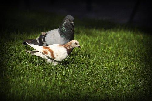 pigeons  birds  fauna