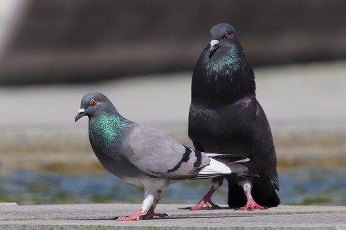 pigeons  birds  animal