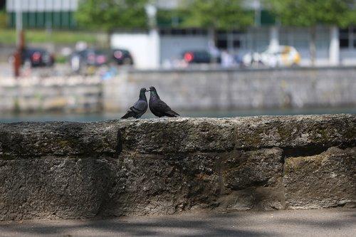 pigeons  togetherness  close