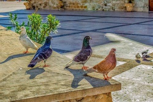 pigeons  square  posing