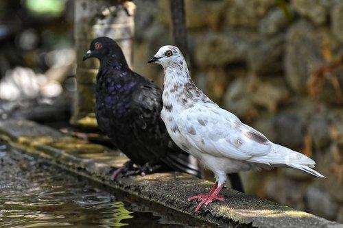 pigeons  various  watering hole