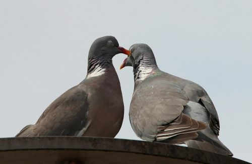 pigeons doves and pigeons pigeon birds