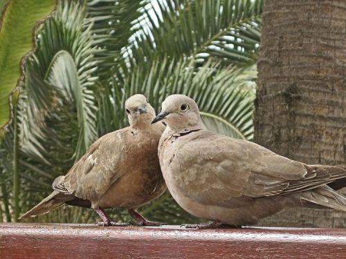 pigeons animals bird