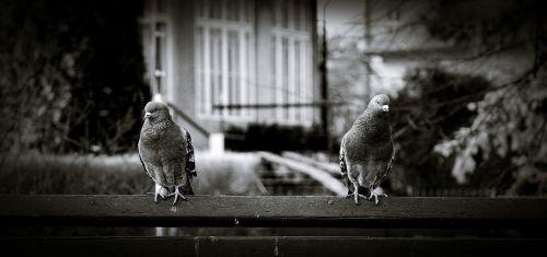 pigeons kraków krowodrza