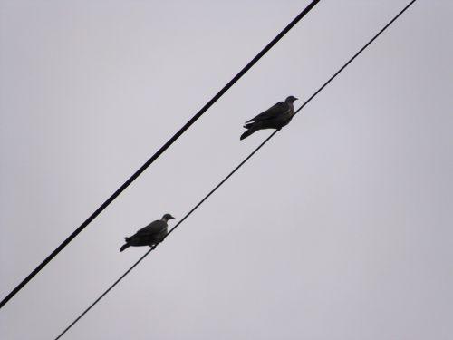 pigeons wood-pigeons birds