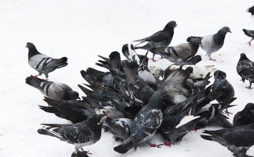 pigeons birds blue grey pigeons