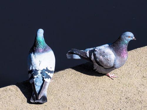 pigeons water bird