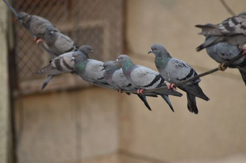 pigeons line swinging birds