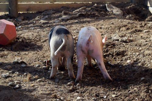piggies pig butts farm