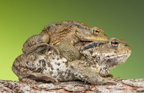 piggyback toad frog