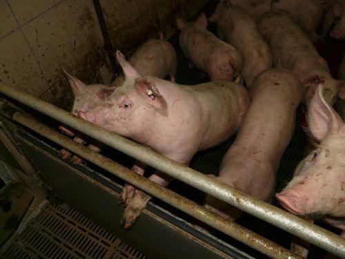 paršelis,kiaulė,jaunas,saldus,mielas,rožinis,stalas,gyvūnas,naminis gyvūnėlis,gyvuliai,veisimas,kiaulių veisimas,purvinas,įdomu
