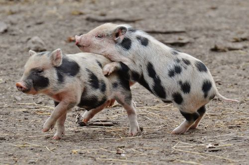 piglet wildpark poing small pigs