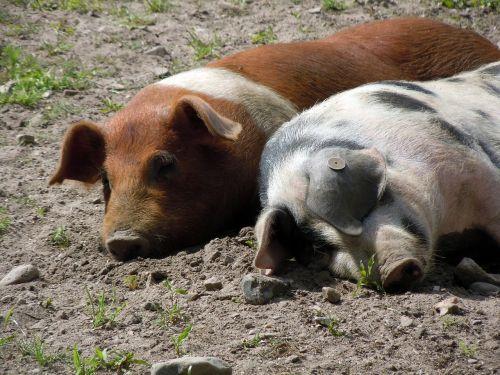 piglet pig snuggle