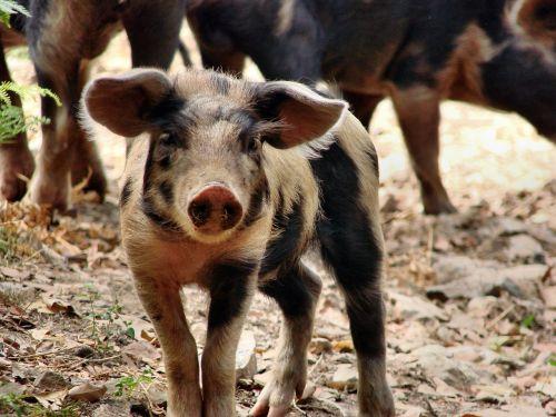 piglet pig happy