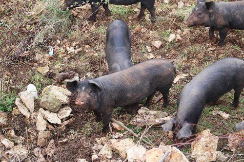 piglet pigs animals