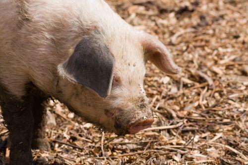 Piglet Close-up