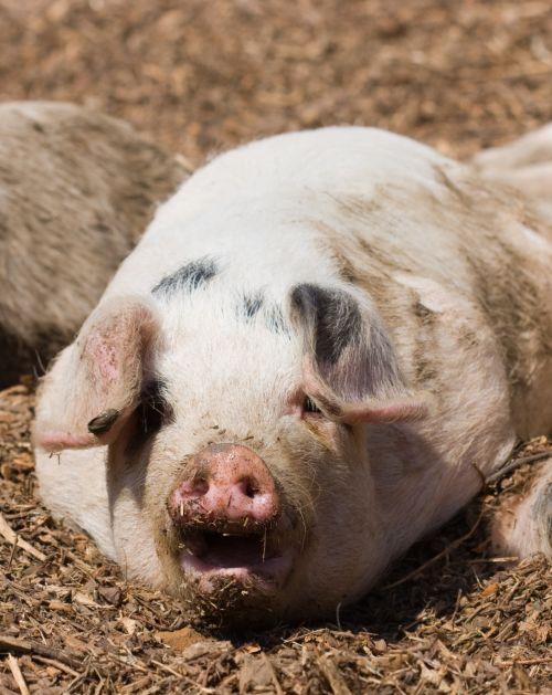 Piglet Snout Close-up