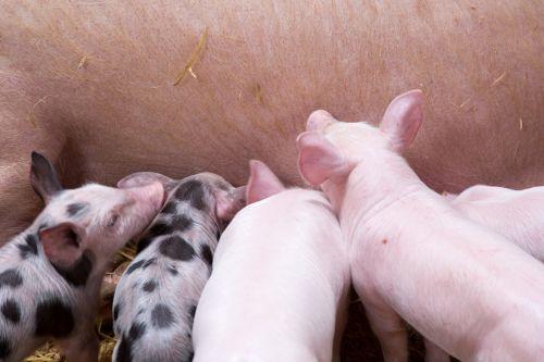Žemdirbystė, gyvūnas, gyvūnai, kūdikis, tvartas, vidaus, ūkis, ūkininkavimas, maitinimas, grupė, gyvuliai, kiaulė, paršelis, paršeliai, kiaulės, rožinis, kiauliena, mažas, kiaulės, jaunas, pašarų paršeliai