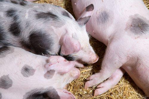 Žemdirbystė, gyvūnas, gyvūnai, kūdikis, tvartas, vidaus, ūkis, ūkininkavimas, grupė, gyvuliai, kiaulė, paršelis, paršeliai, kiaulės, rožinis, kiauliena, mažas, jaunas, paršeliai ūkyje