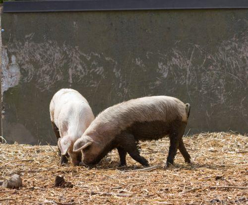 kiaulė, kiaulės, paršelis, paršeliai, kūdikis, jaunas, kiaulytė, gyvūnas, ūkis, mielas, purvinas, purvinas, nuotrauka, vaizdas, ūkyje paršeliai