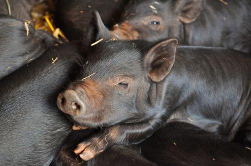 kiaulė, paršelis, kūdikis, gyvūnas, ūkis, paršeliai