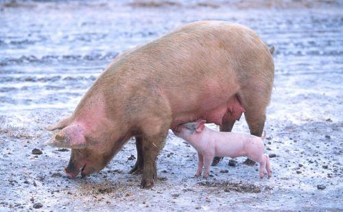 kiaulės, sėti, paršelis, portretas, gyvuliai, kiaulės, Žemdirbystė, viešasis & nbsp, domenas, žinduoliai, tapetai, fonas, mielas, Šalis, rožinis, kūdikis, kaimas, valgymas, slauga, maitinimas, kiauliena, kiaulės