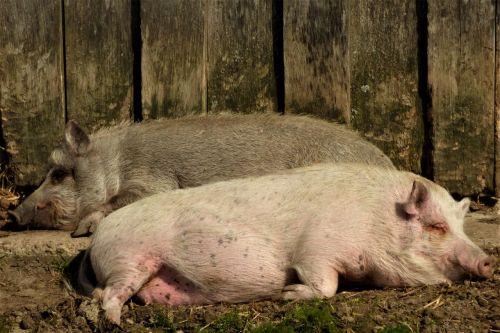 pigs sleeping sow