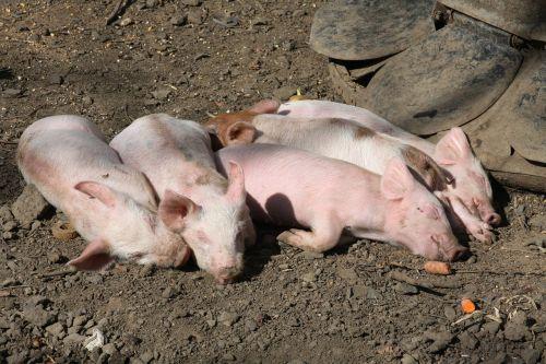kiaulės,ūkio gyvūnai,miega,laukinė gamta,gyvūnai,poilsio,tingus