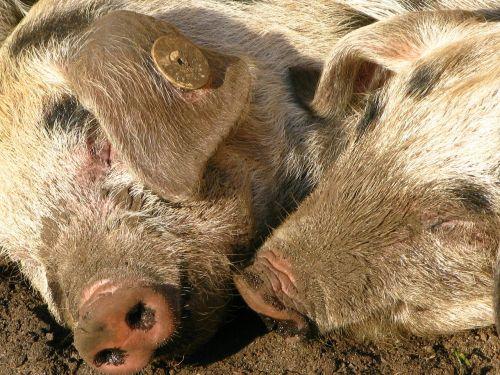pigs snout pig snout