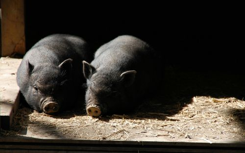 pigs piglets piglet