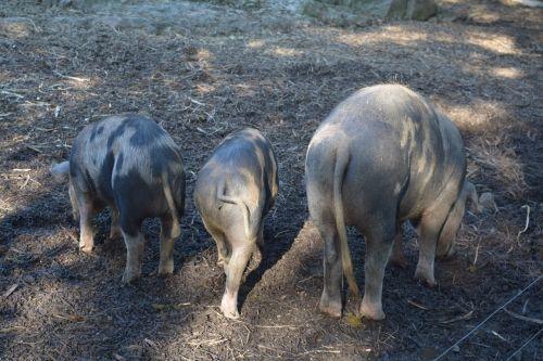 pigs animals sow