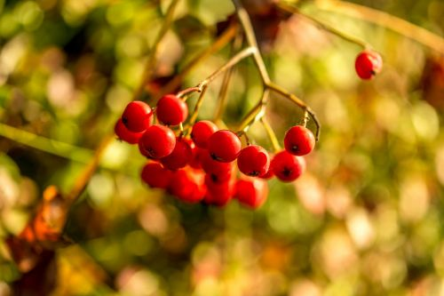 pihjaja berry red berry