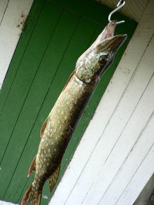 pike fishhook fish