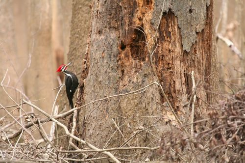 pileated woodpecker bird tree