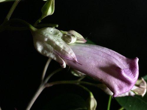 pimpollo pink  pink petals  garden