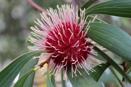 pin-cushion hakea  emu bush  flower