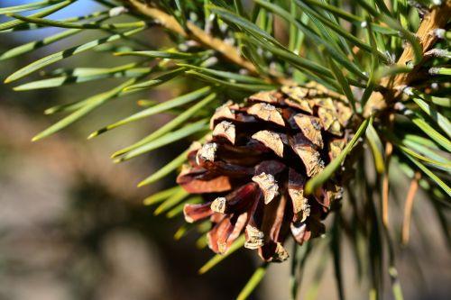 pine pine cone cone