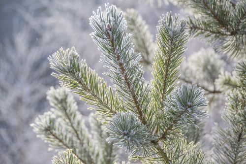 pine sprig frost